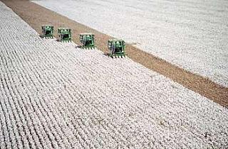 Colheita do algodão no